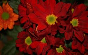 Picture petals, red, chrysanthemum