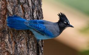 Picture nature, tree, bird, blackheads Steller blue Jay