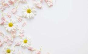 Wallpaper flowers, chamomile, petals, pink, decor, petals, chamomiles