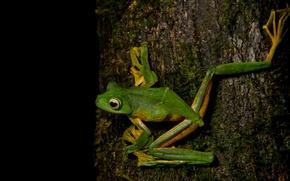 Picture animals, eyes, macro, pose, tree, frog, legs, bark, black background, green, amphibians, amphibians