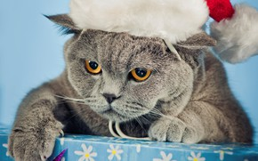 Picture cat, new year, cap