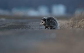 Wallpaper road, animals, background, small, animal, walk, possum, funny, nosy