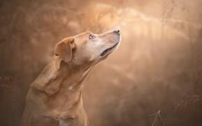 Wallpaper background, dog, face, bokeh