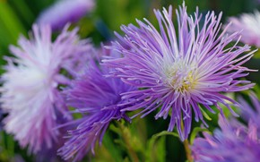 Wallpaper flowers, beauty, September, nature, plants, flora, cottage, annuals, asters, the color purple, autumn