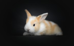 Picture rabbit, baby, black background, rabbit