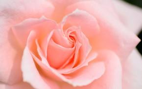 Picture macro, rose, petals, peach