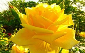 Picture the sun, rose, Crimea, Feodosiya