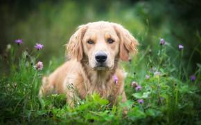 Picture look, flowers, dog, meadow, bokeh, Golden Retriever, Golden Retriever