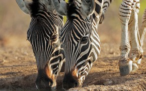 Picture pair, muzzle, Zebra