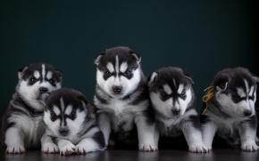 Wallpaper puppies, husky, quintet