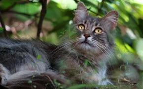 Picture cat, eyes, cat, look, leaves, nature, green, grey, background, muzzle, lies, yellow eyes