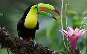 Picture flower, bird, Toucan, Iridescent Toucan
