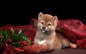 Picture lies, Shiba inu, puppy, red, Shiba Inu, leaves, berries, bokeh, muzzle, black background, Shiba inu, …