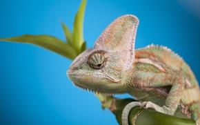 Picture head, reptile, Chameleon, scales