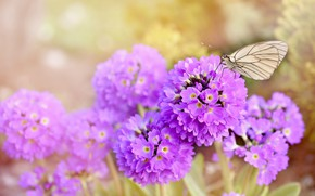 Wallpaper flowers, nature, butterfly, nature, butterfly, flowers, spring, purple, earlybloomer