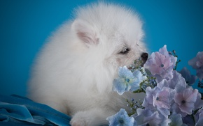 Picture white, puppy, hydrangea, Spitz