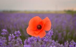 Picture Spring, Spring, Lavander, Lavender, lavender field, Red poppy, Red poppy