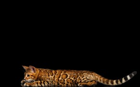 Picture cat, reflection, lies, black background, Bengal, Bengal