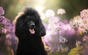 Picture face, dog, bow, poodle