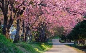 Wallpaper trees, branches, Park, spring, Sakura, flowering, pink, blossom, park, tree, sakura, cherry, spring, bloom