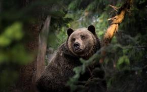 Wallpaper forest, the Bruins, bear
