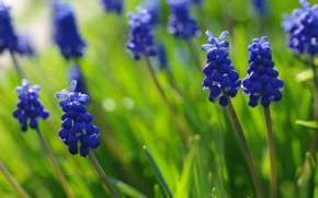 Picture macro, flowers, nature, beauty, plants, spring, may, blue color, Muscari, cottage, flora, hyacinth mouse, bulbous