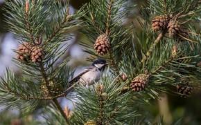 Picture needles, branches, bird, bumps, pine, Moskovka, Black tit