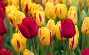 Picture macro, tulips, buds, a lot