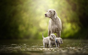 Picture The Weimaraner, Weimar pointer, kids, twins, bokeh, puppies, a couple, walk, dogs