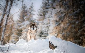 Wallpaper winter, forest, wolf