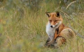 Picture grass, look, face, pose, background, glade, paws, Fox, red, sitting, wildlife, Fox