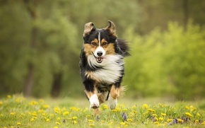 Picture flowers, dog, meadow, running, walk