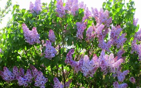 Picture flowers, Bush, beauty, lilac, spring 2018, Mamala ©