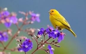 Picture flowers, bird, branch, Saffron Finch
