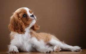 Picture puppy, grace, breed, Spaniel