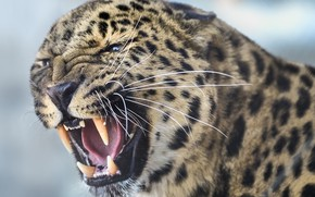 Wallpaper wild cat, face, grin, fangs, predator, beast, Leopard