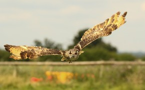 Picture flight, owl, bird, wings, Priroda