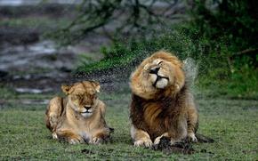 Wallpaper squirt, rain, lioness, Leo, wet, lions