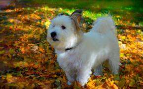 Picture Autumn, Dog, Dog, Fall, Foliage, Autumn, Leaves, The West highland white Terrier