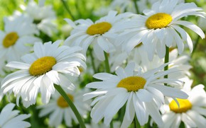 Picture summer, macro, flowers, nature, tenderness, chamomile, beauty, plants, positive, cottage, flora, white color, July, snow …