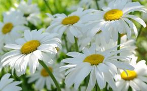 Wallpaper summer, macro, flowers, nature, tenderness, chamomile, beauty, plants, positive, cottage, flora, white color, July, snow ...