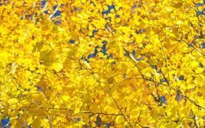 Wallpaper leaves, autumn, tree