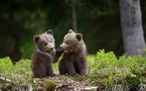 Picture bears, pair, bears