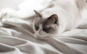 Wallpaper eyes, cat, look, blue