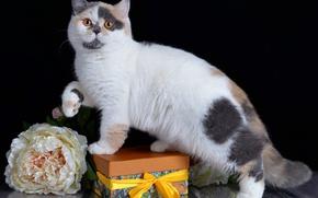 Picture cat, flowers, British