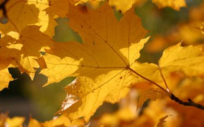 Picture autumn, leaves, macro, yellow, color