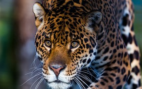Picture eyes, face, Panther, color