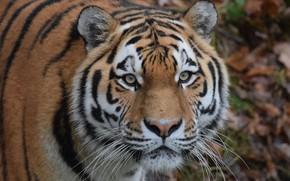 Wallpaper look, eyes, face, The Amur tiger