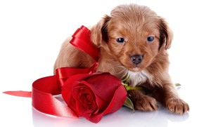 Wallpaper rose, small, tape, puppy