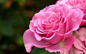 Picture background, roses, petals